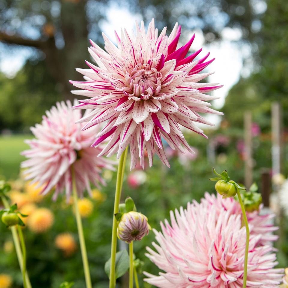 Seattle-PNW-Volunteer-Park-Dahlia-Garden-2019-IMG_5821