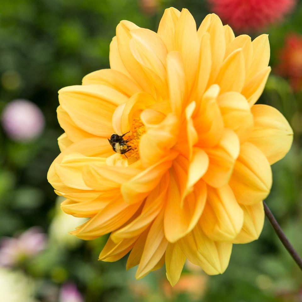 Seattle-PNW-Volunteer-Park-Dahlia-Garden-2019-IMG_5835