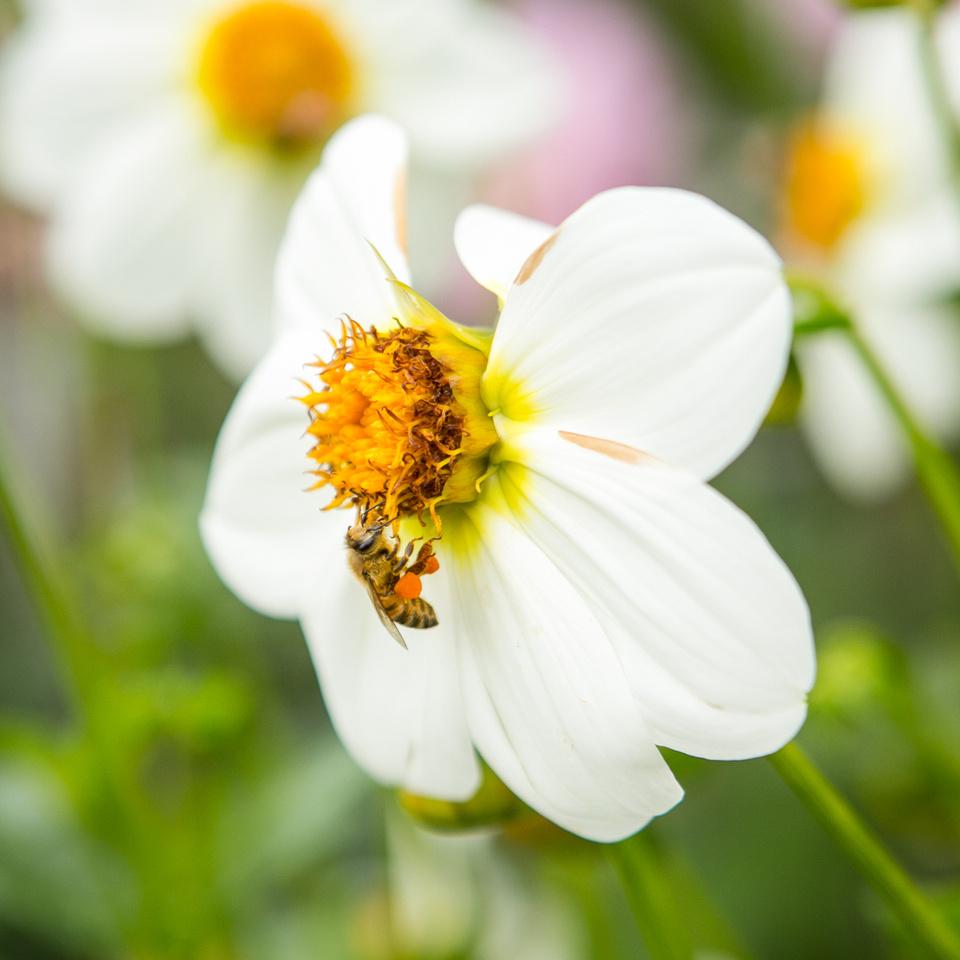 Seattle-PNW-Volunteer-Park-Dahlia-Garden-2019-IMG_5870