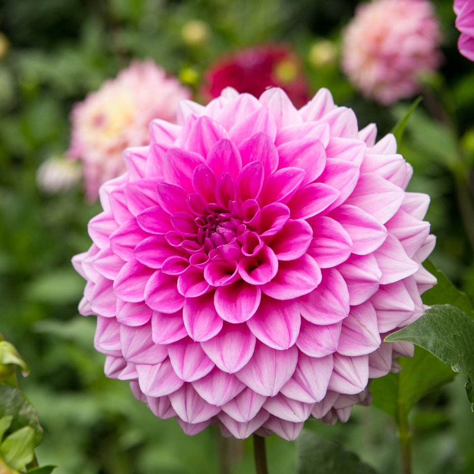 Seattle-PNW-Volunteer-Park-Dahlia-Garden-2019-IMG_5948