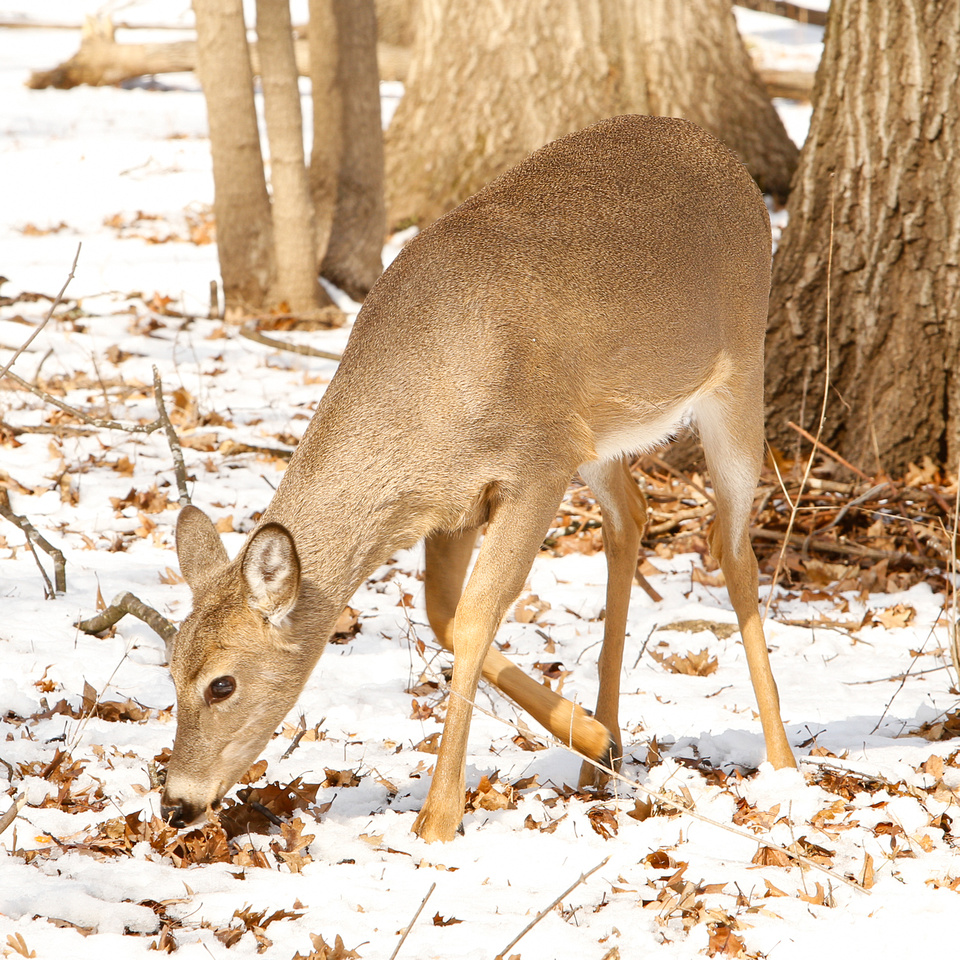 Thatcher-Woods-Forest-Chicago-Deer-2019-_MG_0899