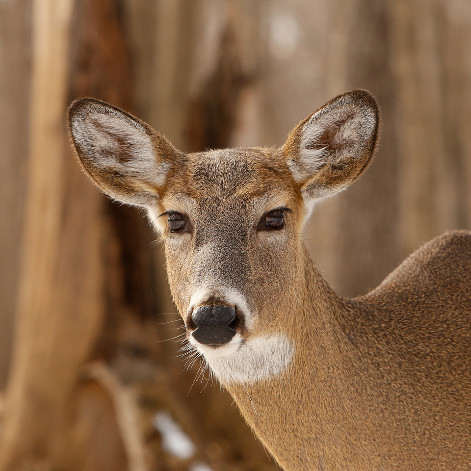 Thatcher-Woods-Forest-Chicago-Deer-2019-_MG_0986