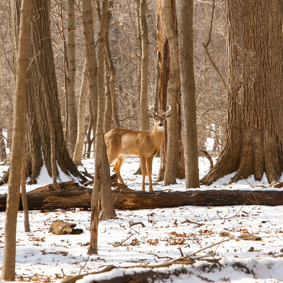 Thatcher-Woods-Forest-Chicago-Deer-2019-_MG_0925