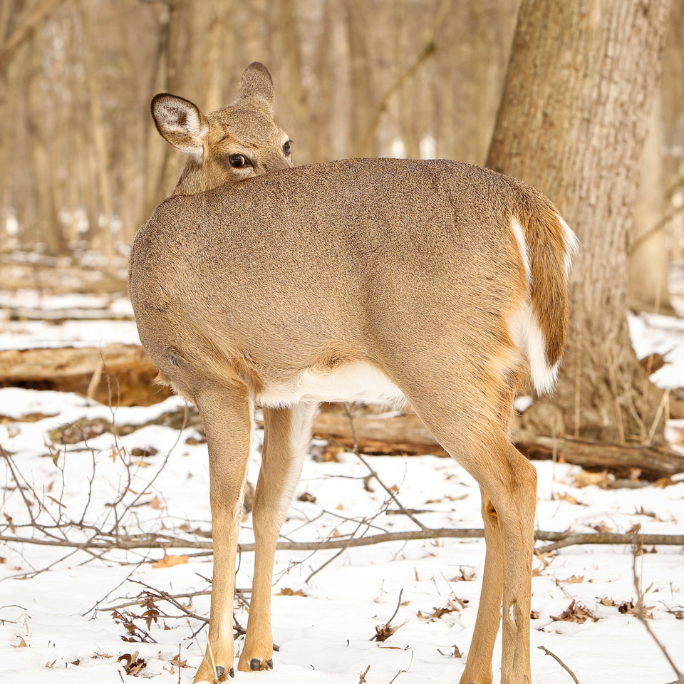 Thatcher-Woods-Forest-Chicago-Deer-2019-_MG_0960
