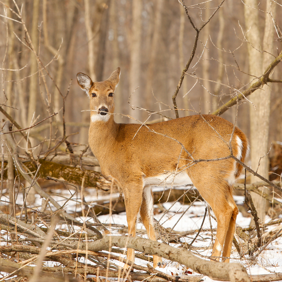 Thatcher-Woods-Forest-Chicago-Deer-2019-_MG_1061