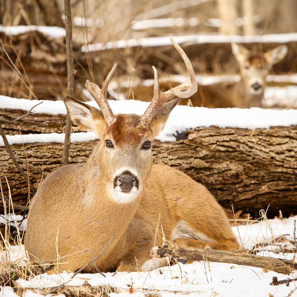 Thatcher-Woods-Forest-Chicago-Deer-2019-_MG_1089