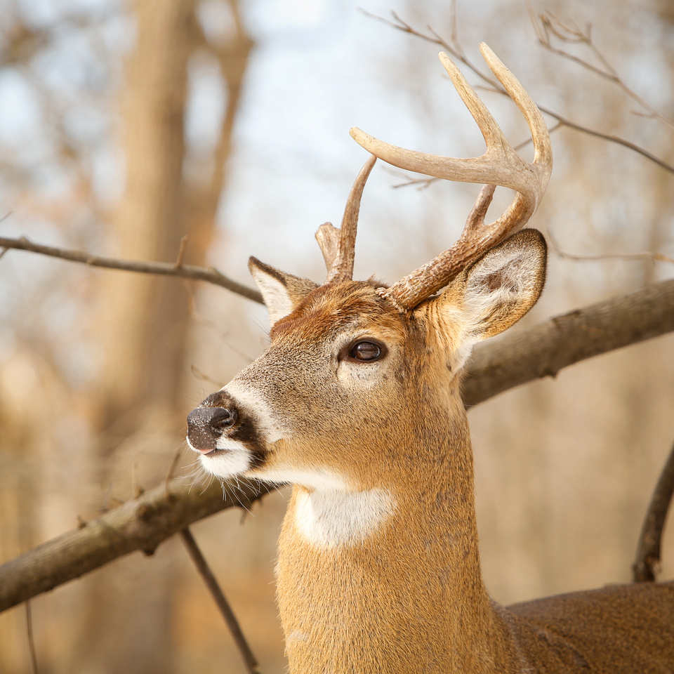 Thatcher-Woods-Forest-Chicago-Deer-2019-_MG_1173